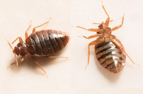 bed bug extermination